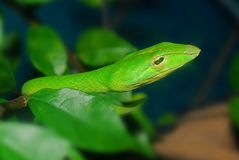 Green snake in the garden Stock Photo