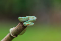 Green snake or Green pit viper in nature Stock Image