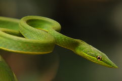 Green snake. This green snake is known by its sharp looking head. Scientific name 'oxybelis fulgidus stock image