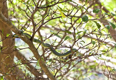 Green snake lies on a branch Royalty Free Stock Photography