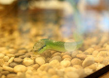 Green snake. Moving in the cage Stock Photos