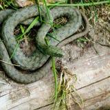 Green snake Royalty Free Stock Image