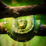 Green Snake. A picture of a green snake on a branch royalty free stock image