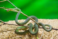 Green snake in terrarium Stock Image