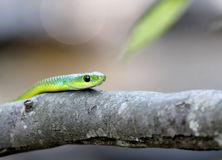 Green snake on a tree Royalty Free Stock Photos