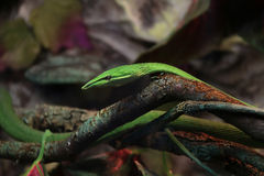 Green snake on a tree Stock Image