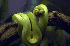 Green Snake in Tree Branch Royalty Free Stock Photos