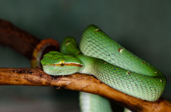 A green snake on a tree branch Royalty Free Stock Photo
