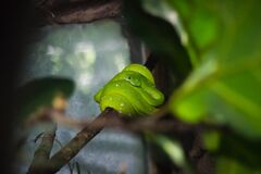 Green Snake on Tree Branch Royalty Free Stock Images
