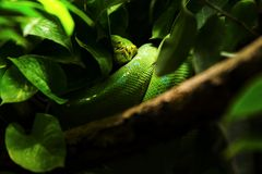 Green snake on tree branch stock photography