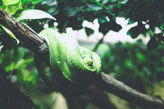 Green Snake on Tree Branch during Day Time Royalty Free Stock Images