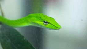 Green snake on the tree royalty free stock image