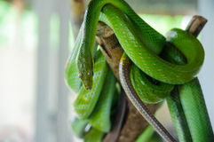 Green snake on a tree. Snake farm in Thailand Stock Image