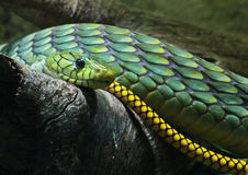 Green Snake Stock Image