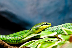 Green Snake in the wild. Danger Green Snake in Thailand wild Stock Image