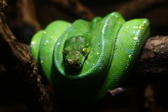 Green snake on the wood. A stranger green snake on the wood Royalty Free Stock Images