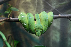 Green snake wrapped around a branch Stock Photos
