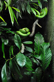 Green snake in zoo Stock Image