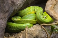 Green Snakes. Two green snakes curled up royalty free stock photos