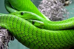 Green snakes Stock Image