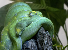 Green snakes. Two green snakes relaxing a tree Stock Image