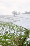 Green and snow. Wheat field covered with snow Stock Image