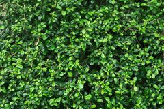 Green soft and dark tiny leaves background Royalty Free Stock Photo