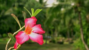 In green solar jungles of southeast Asia. Resort area with palm trees. Red flower in the foreground. Blurred background. 4K stock video
