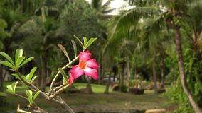 In green solar jungles of southeast Asia. Resort area with palm trees. Red flower in the foreground. Blurred background. 4K stock footage