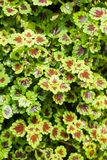 Green Solenostemon scutellarioides plant in nature garden Stock Images