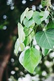 Green soothing leaves on its branch with bokeh background. Nature photo Royalty Free Stock Image