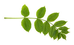 Green sorbus leaves. Isolated on white background royalty free stock image
