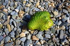 Green soursop fruit Royalty Free Stock Image