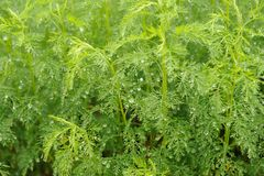 Green Southernwood (Artemisia Abrotanum) Plant Stock Image