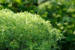 Green Southernwood (Artemisia Abrotanum) Shrub Stock Images