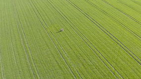 Green sown field and love couple. Aerial View. stock video
