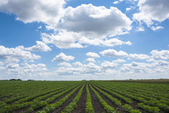 Green Soy fields Stock Images