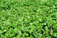 Green soy plant Stock Images
