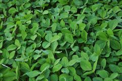 Green soy plants. Young green soy plants with large leaves that grow in the field Stock Photography