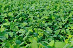 Green soya bean plants in growth Royalty Free Stock Images