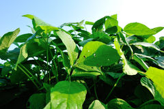 Green soya bean plants in growth Royalty Free Stock Image