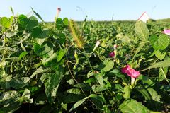 Soybean  crops in growth at field. Green soybean  crops in growth at field Stock Photography