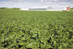 Green soybean field Stock Photo