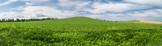 Green soybean field panoramic photo Stock Photos