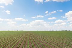 Green soybean field, Rows of young green soybeans. Agricultural. Landscape. Agriculture Stock Photography