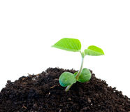 Green soybean Royalty Free Stock Image