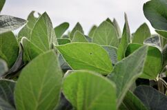 Free Green Soybean Leaves And Sky In Clouds Stock Photos - 191140353