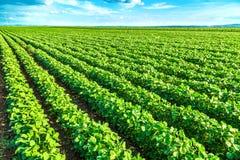 Green soybean plants close-up shot, mixed organic and gmo. Royalty Free Stock Photography