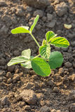 Green soybean plants close-up shot, mixed organic and gmo. Royalty Free Stock Images