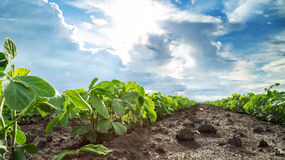 Green soybean plants close-up shot, mixed organic and gmo. Stock Images